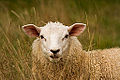 A sheep in the long grass.jpg