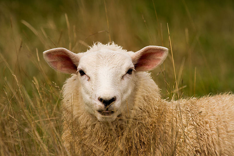 File:A sheep in the long grass.jpg