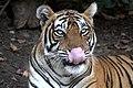 A tigress.jpg