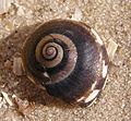 Ab mollusca 29.jpg