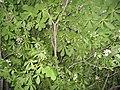 Ab plant 594.jpg