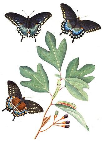 Sassafras - S. albidum is a host plant for the spicebush swallowtail.