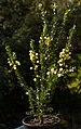 Acacia armata A.jpg