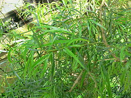 Acacia leprosa1