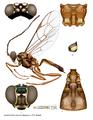 Acantholabus malaisei.png