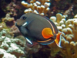 Acanthuridae - Acanthurus achilles.JPG