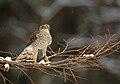 Accipiter nisus 2 (Martin Mecnarowski).jpg
