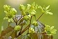 Acer.platanoides.-.lindsey.jpg