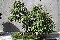 Acer ginnala 16zz.jpg