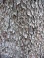 Acer pseudoplatanus textura del tronco.jpg