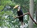 Aceros corrugatus -Roger Williams Park Zoo, Rhode Island, USA-8a.jpg