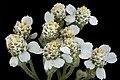 Achillea millifolium 2, Yarrow, Howard County, Md, Helen Lowe Metzman 2019-10-23-11.43.35 ZS PMax UDR (49486135082).jpg