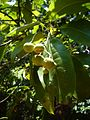 Acronychia pedunculata Fruits 1.jpg