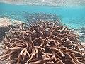Acropora robusta Maldives.jpg