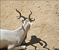 Addax-Jerusalem-Biblical-Zoo-IZE-554.jpg