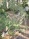 Adenia fruticosa - Atlanta Botanical Garden