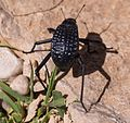 Adesmia ground beetle (50712).jpg