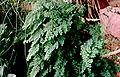 Adiantum capillus-veneris (USDA).jpg