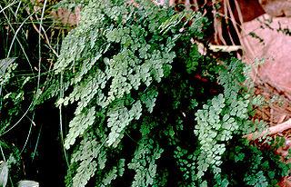<i>Adiantum capillus-veneris</i> species of plant