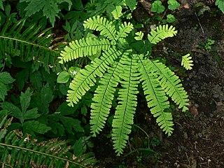 <i>Adiantum aleuticum</i> species of plant