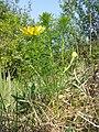 Adonis vernalis sl40.jpg