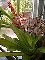 Aechmea caudata HabitusInflorescence BotGardBln1006b.jpg