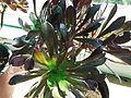 Aeonium arboreum atropurpureum-2-yercaud-salem-India.JPG