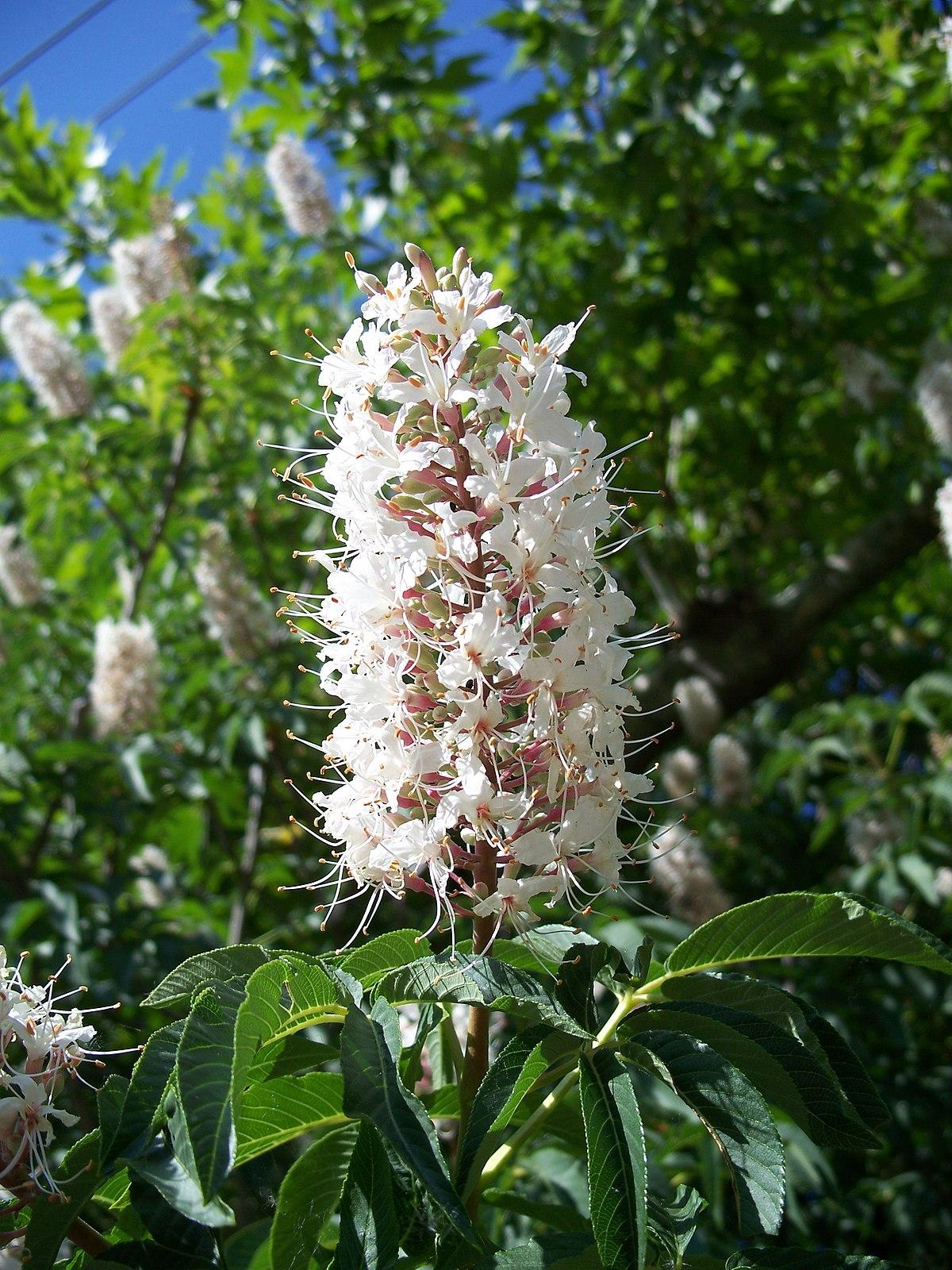Aesculus californica -...