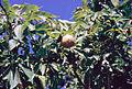 Aesculus glabra USDA.jpg