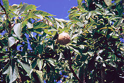 meaning of aesculus