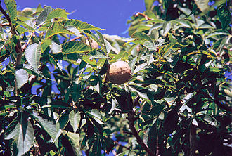 Aesculus glabra - Foliage and fruit