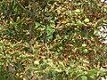 Aesculus hippocastanum - divlji kesten 1.jpg