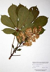 Aesculus hippocastanum BW-1979-0522-0315.jpg