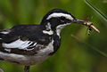 African Pied Wagtail, Motacilla aguimp - incoming with grasshopper - in Kruger National Park (13850290833).jpg