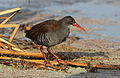 African Rail, Rallus caerulescens at Marievale Nature Reserve, Gauteng, South Africa (20626467274).jpg