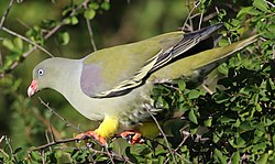 African green pigeon, Treron calvus, Kruger main road near Punda Maria turn-off, Kruger National Park, South Africa (25939672280).jpg