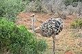 African ostrich 03.jpg