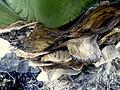 Agave huachucensis (9).JPG