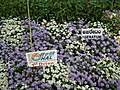 Ageratum from Lalbagh flower show Aug 2013 7974.JPG
