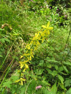 Agrimonia pilosa var. japonica 6.JPG