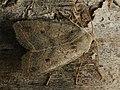 Agrochola lota - Red-line Quaker - Пухоногая совка ивовая (27235977548).jpg