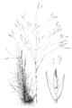 Agrostis hyemalis (as A. hiemalis) HC-1950.png