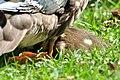 Aix galericulata (Küken) - Nymphenteich Zürichhorn 2011-06-10 16-36-00.jpg