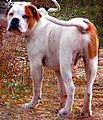 7 / Alapaha Blue Blood Bulldog
