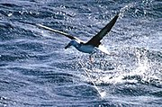 This Black-browed Albatross has been hooked on a long-line. This type of fishing threatens 19 of the 21 species of albatross, three critically so.