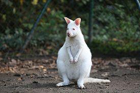 Albino Kangaroo.jpg