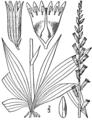 Aletris farinosa drawing.png