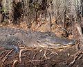 Alligator along Canal Run (5179509964).jpg