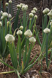 Allium fistulosum 2