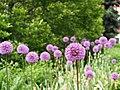 Allium hollandicum Purple Sensation Czosnek 2015-05-17 04.jpg
